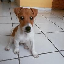 Cachorros Jack Russell (perro De La Máscara )