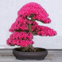 Bonsai Tree Japanese Sakura Seed10 Cherryblossoms