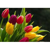 Semillas De Tulipanes Tenemos 16 Colores Disponible Oferta