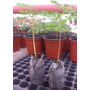 Plantines Y Semillas De Moringa En Lima - Peru